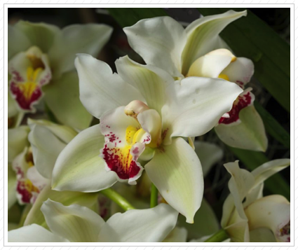 White Orchid, NYBG ©