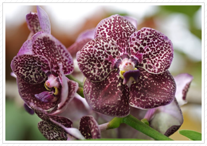 Purple Orchid, NYBG ©