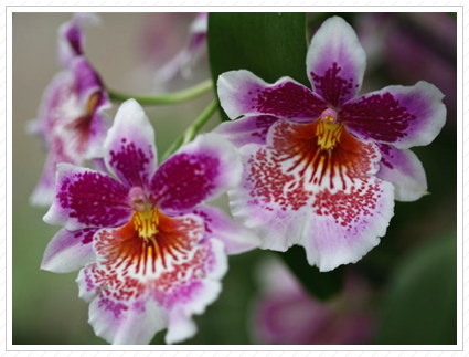 Orchid, NYBG ©