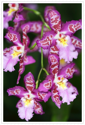 Purple Orchids, NYBG ©