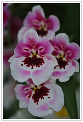 Pink & White Orchids, NYBG ©