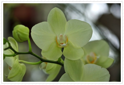 Green Orchid, NYBG ©