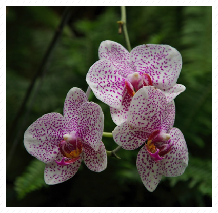Pink & White Orchid, Longwood Garden ©